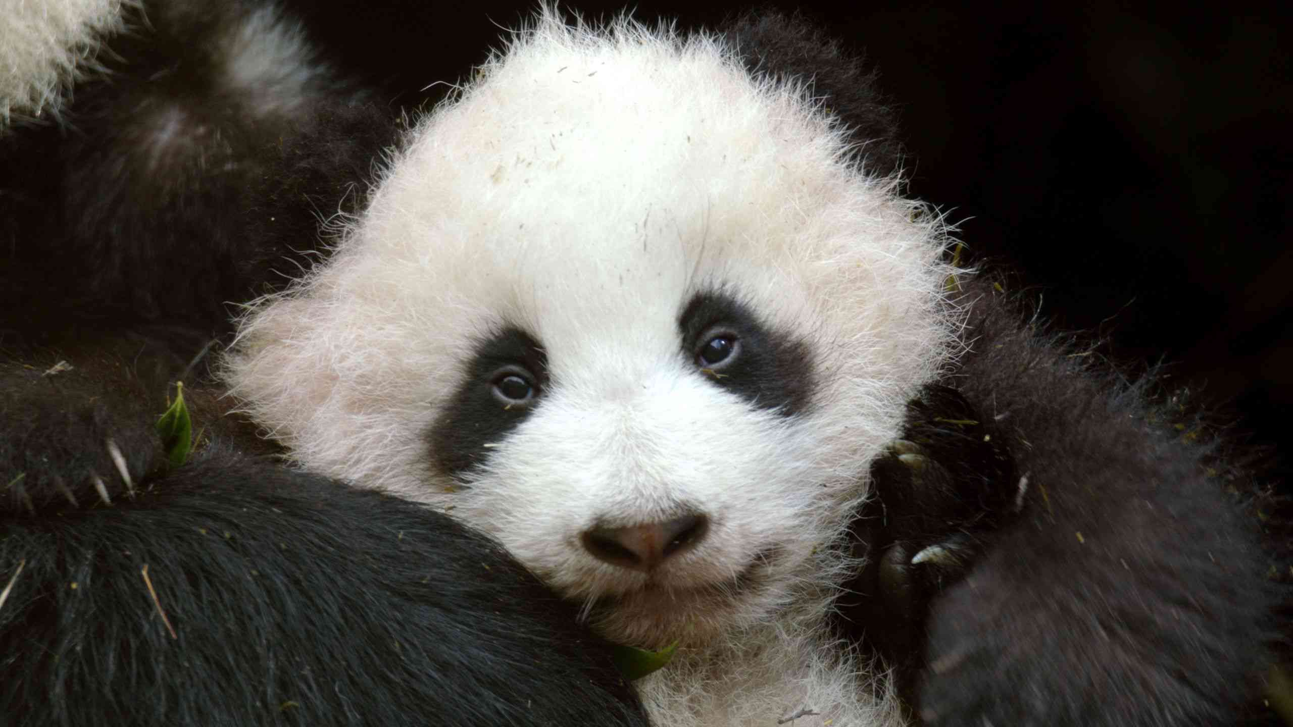 Giant panda cub training for reintroduction into the wild.