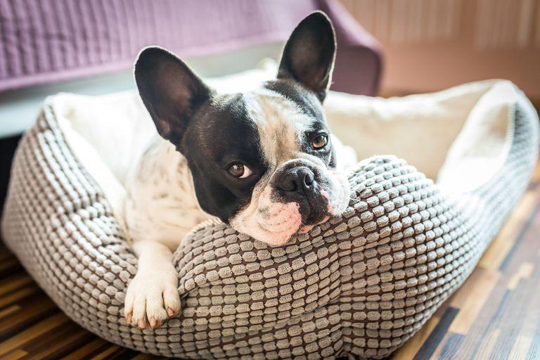 Los perros no pueden dormir si han tenido un día estresante