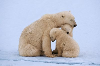 mother polar bear nuzzles two small cubs