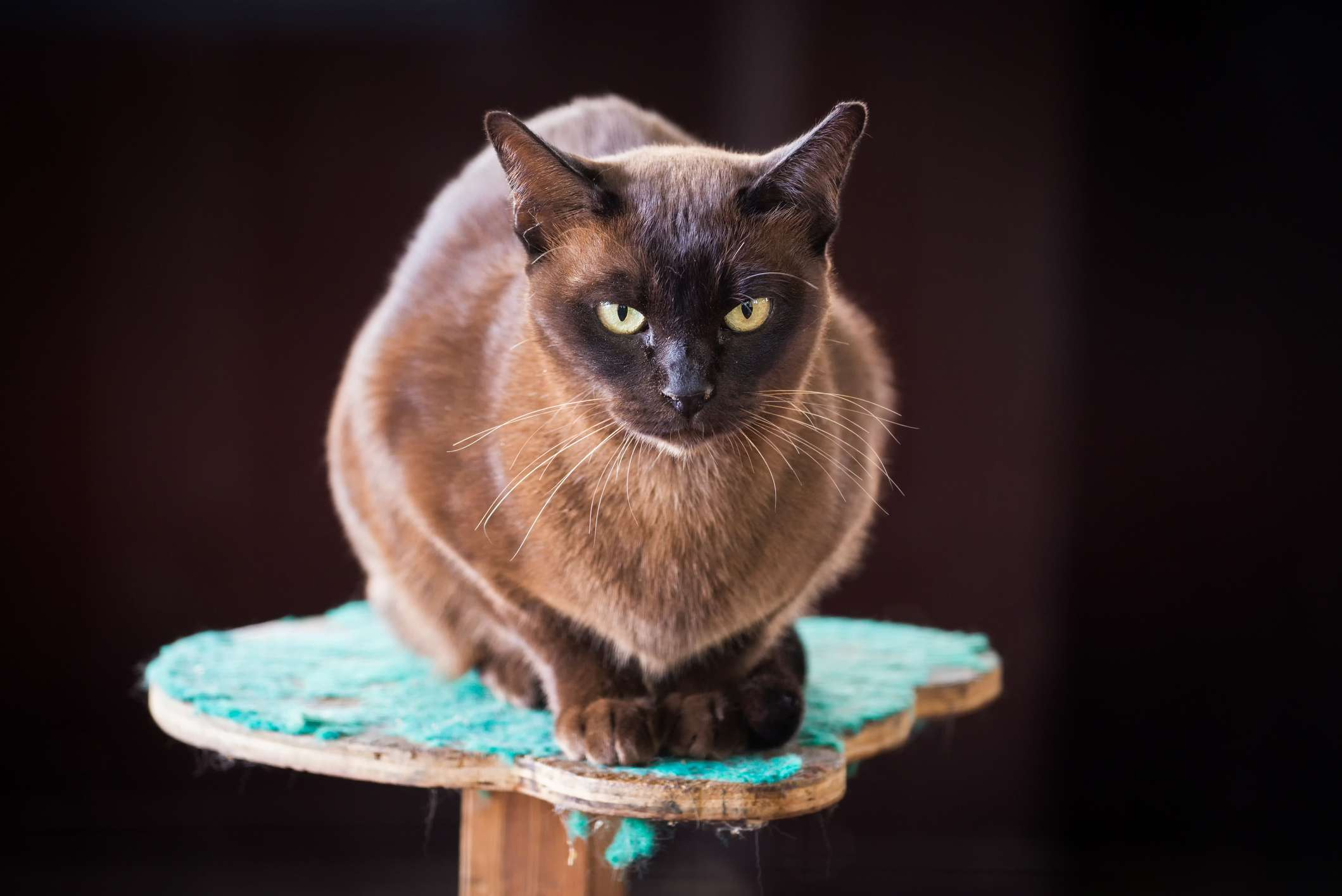 Black and brown Burmese cat sitting on a turquoise pedestal