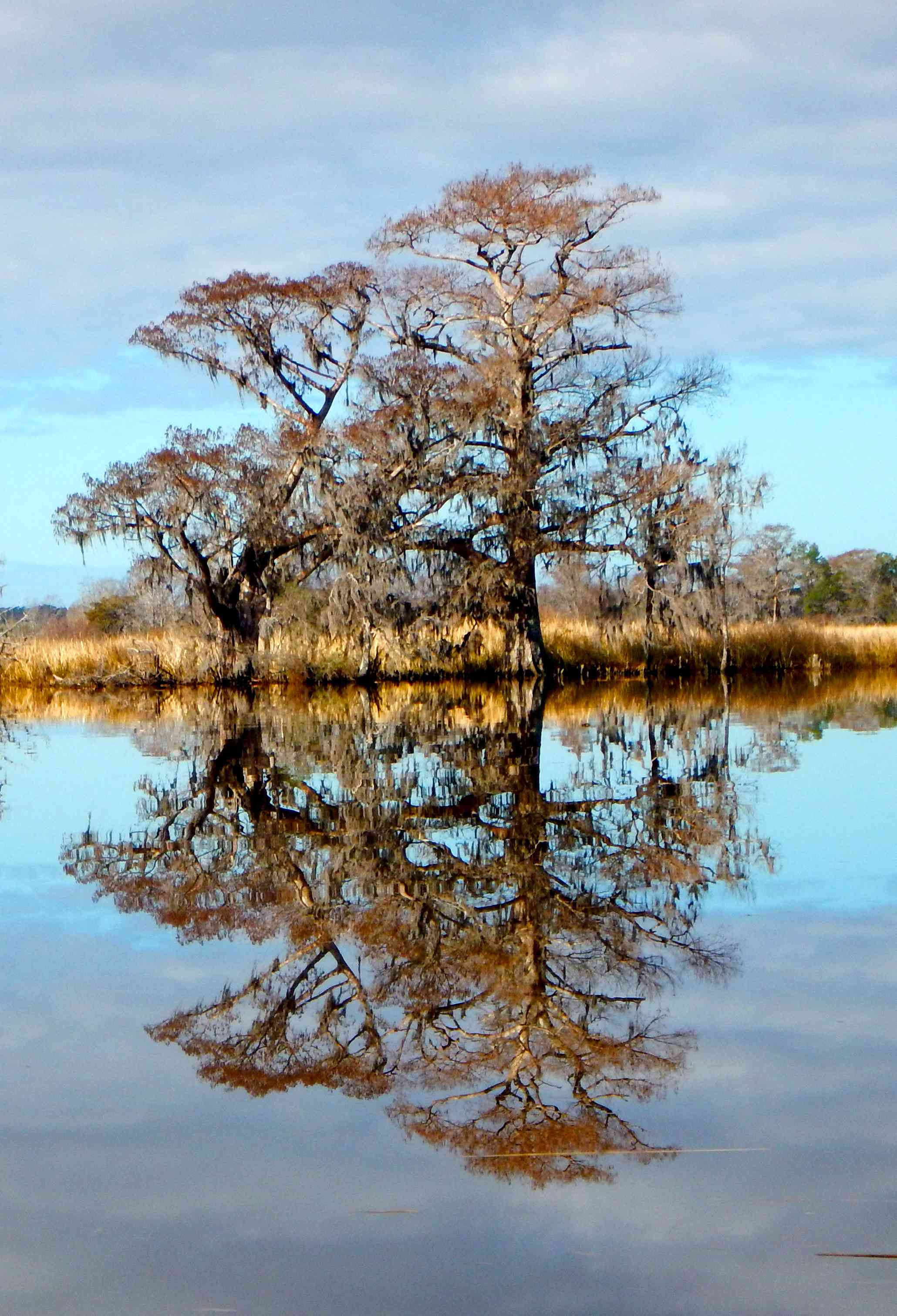 Two large cypress trees, with their reflection also shown in the water