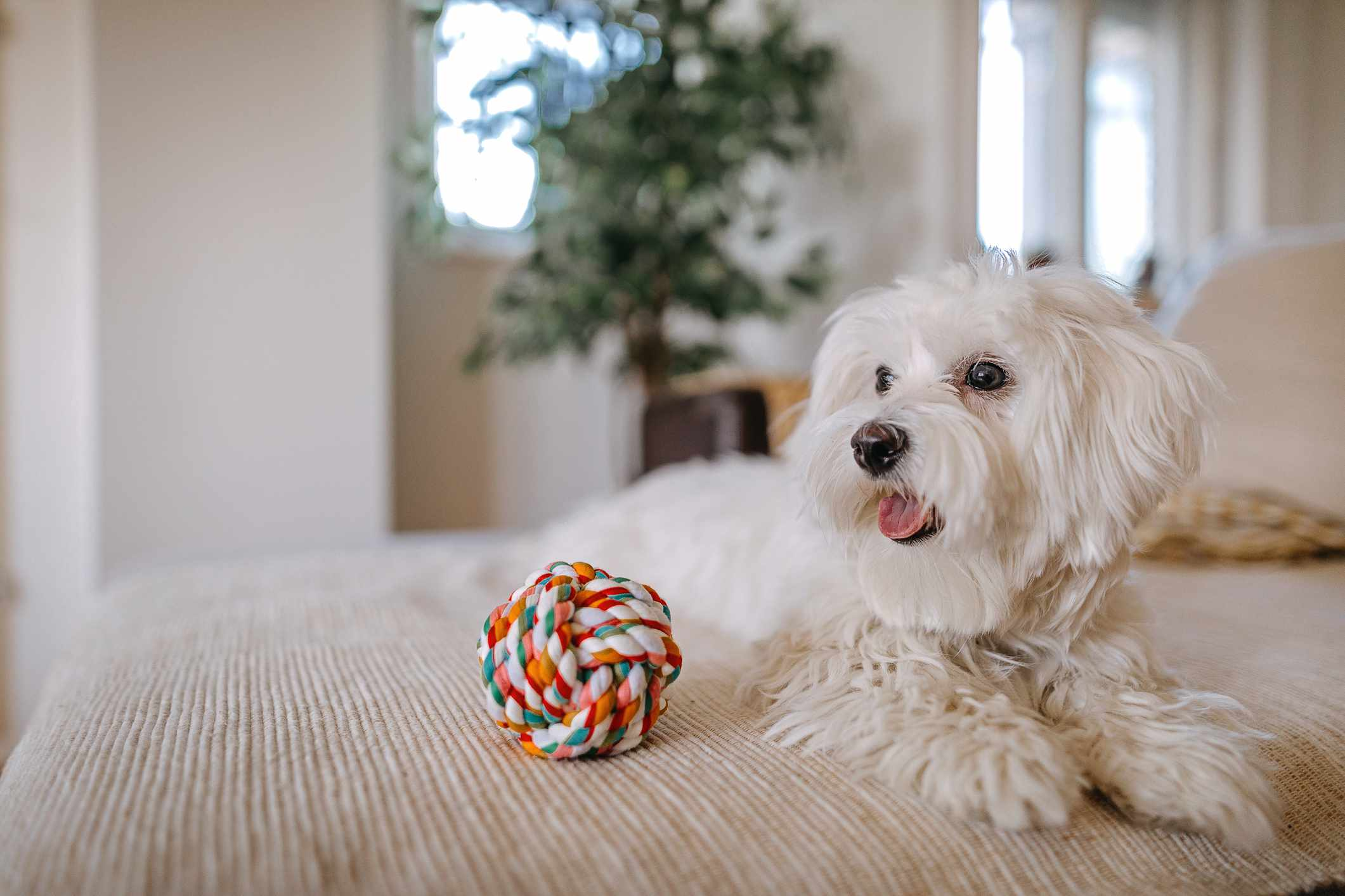 white maltese dog lying on white bed next to colorful ball