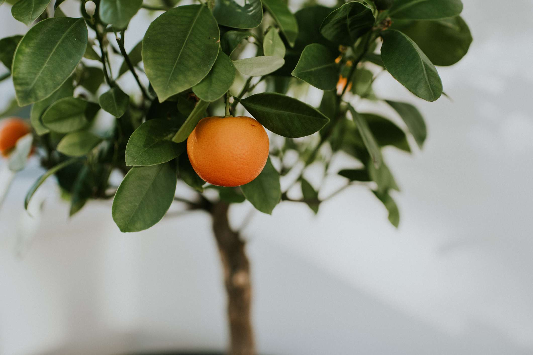 close view of calamondin, dwarf orange tree, with ripe fruit growing indoors