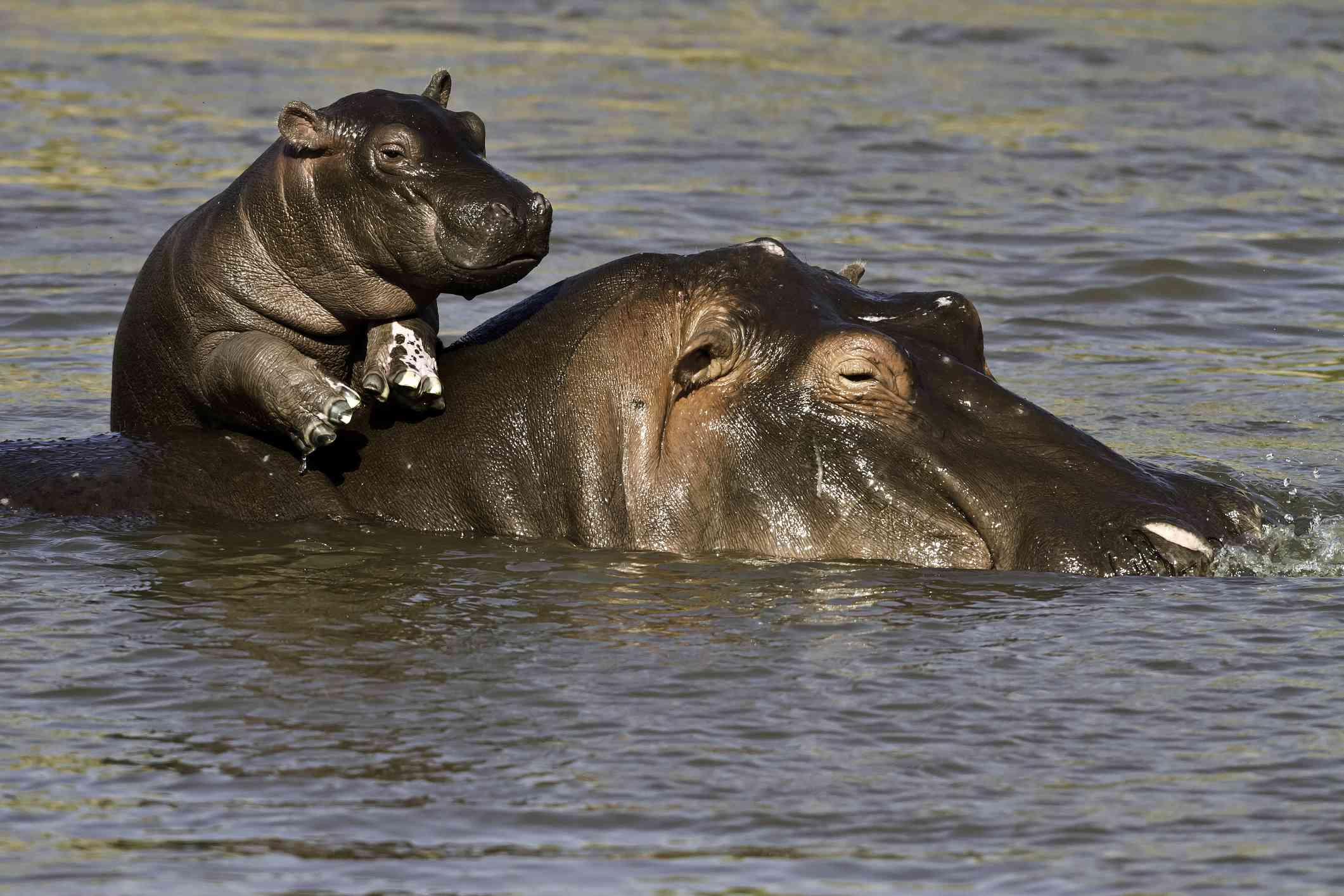 Baby hippo and mother in the water