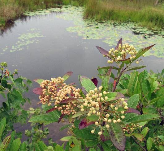 swamp-haw viburnum, Viburnum nudum
