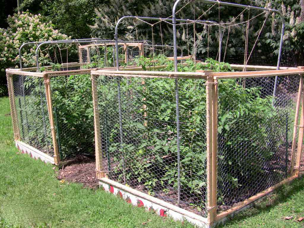 Tomato plants in DIY wire cages