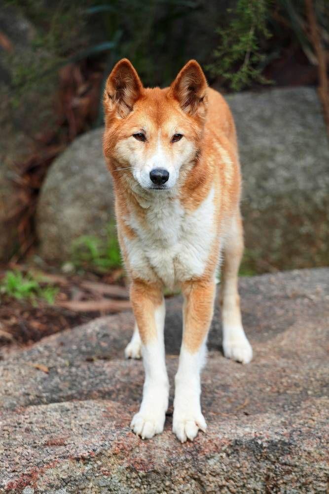 Perros parias: 9 razas de perros antiguos y salvajes