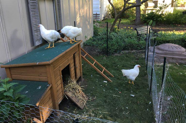 Mi vida con pollos de traspatio