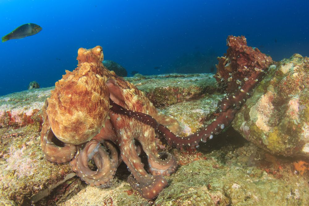 Two octopuses mating, the male using a special long arm to keep a distance from the female.