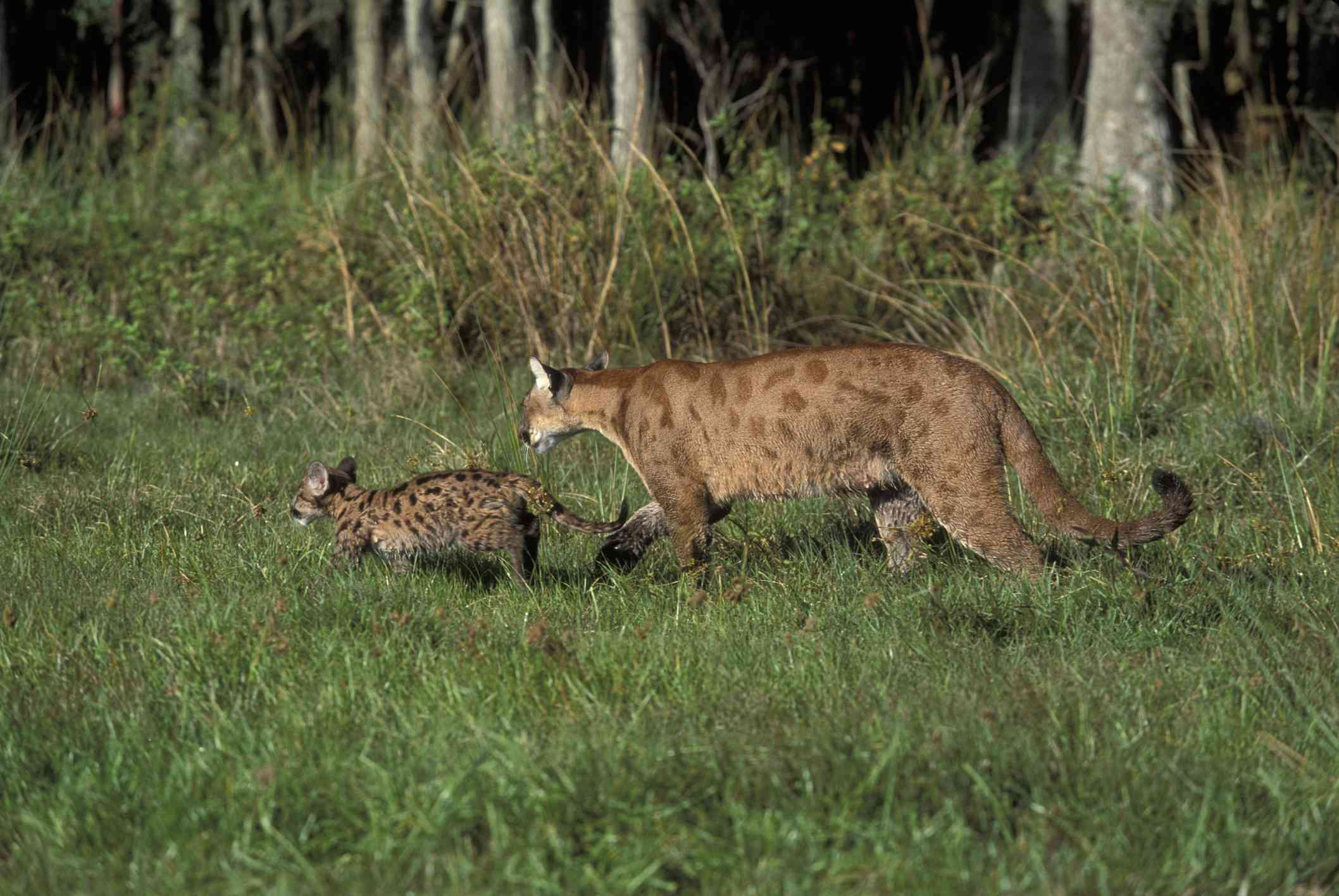 adult Florida panther and cub walking through a grassy habitat