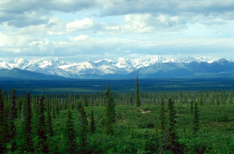 White spruce forest with mountains in background.
