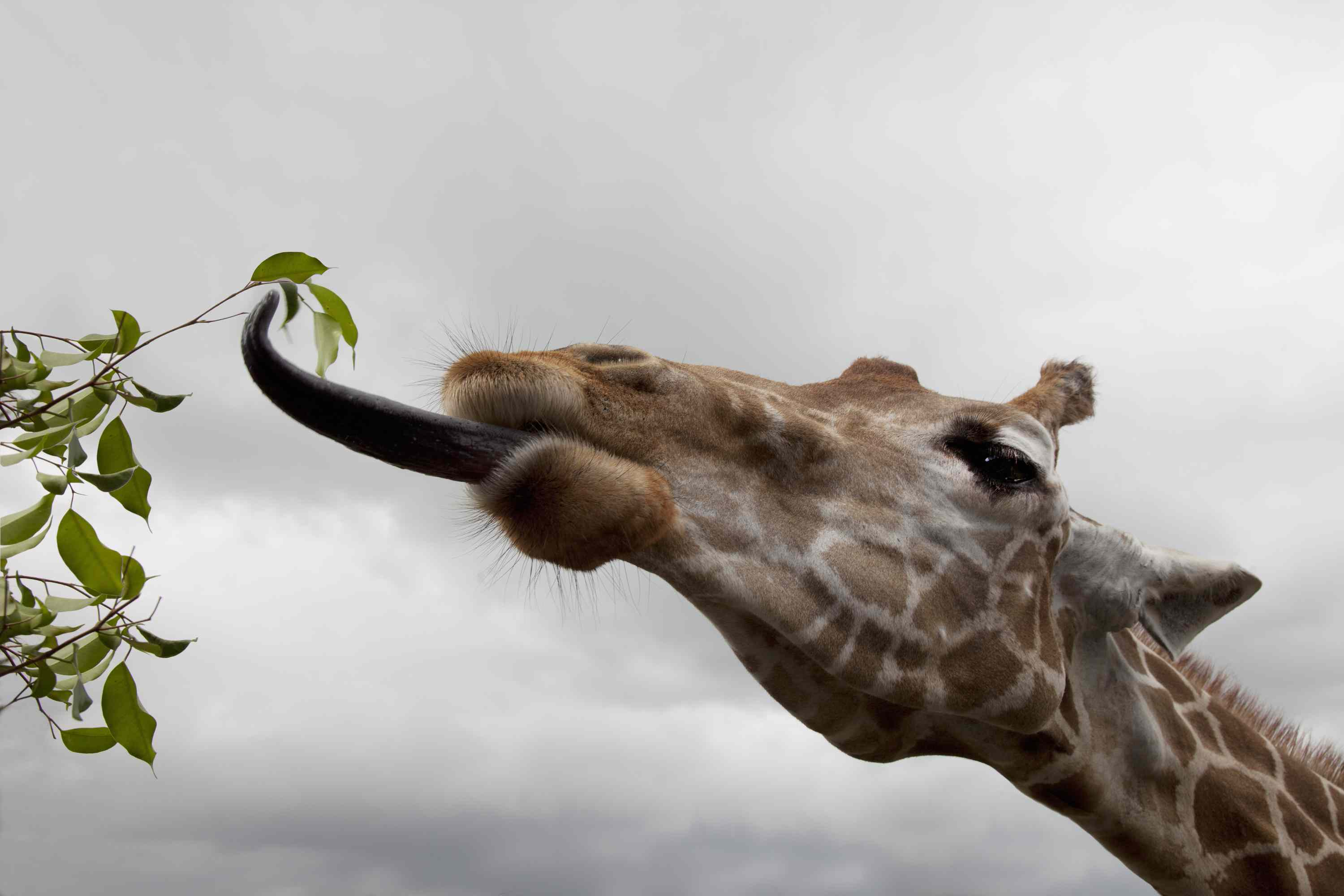 Giraffe with tongue extended to eat leaves from a tree