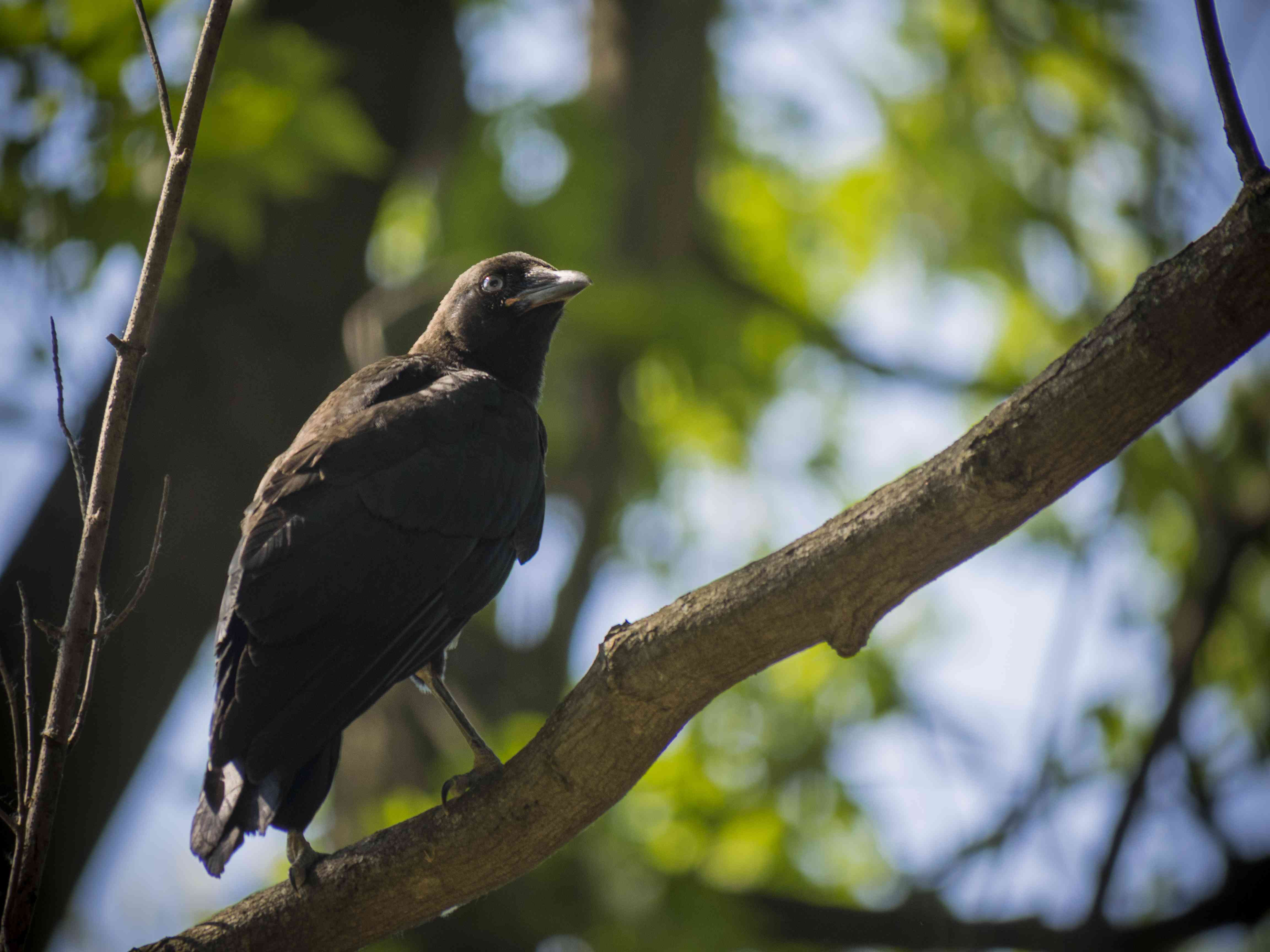 juvenile American crow perched in a tree