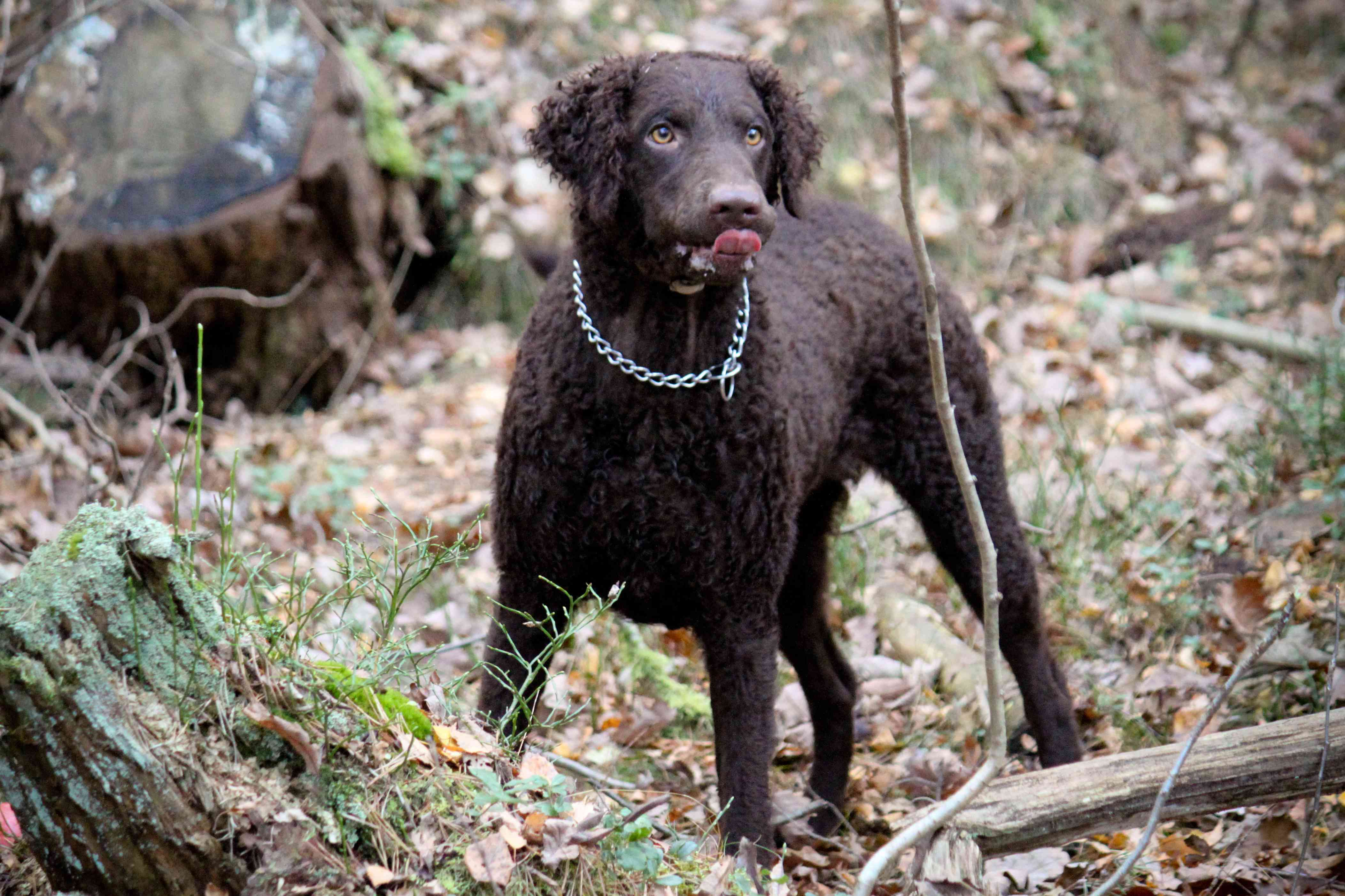chocolate curly coated lab stands in woods surrounded by branches and fallen leaves
