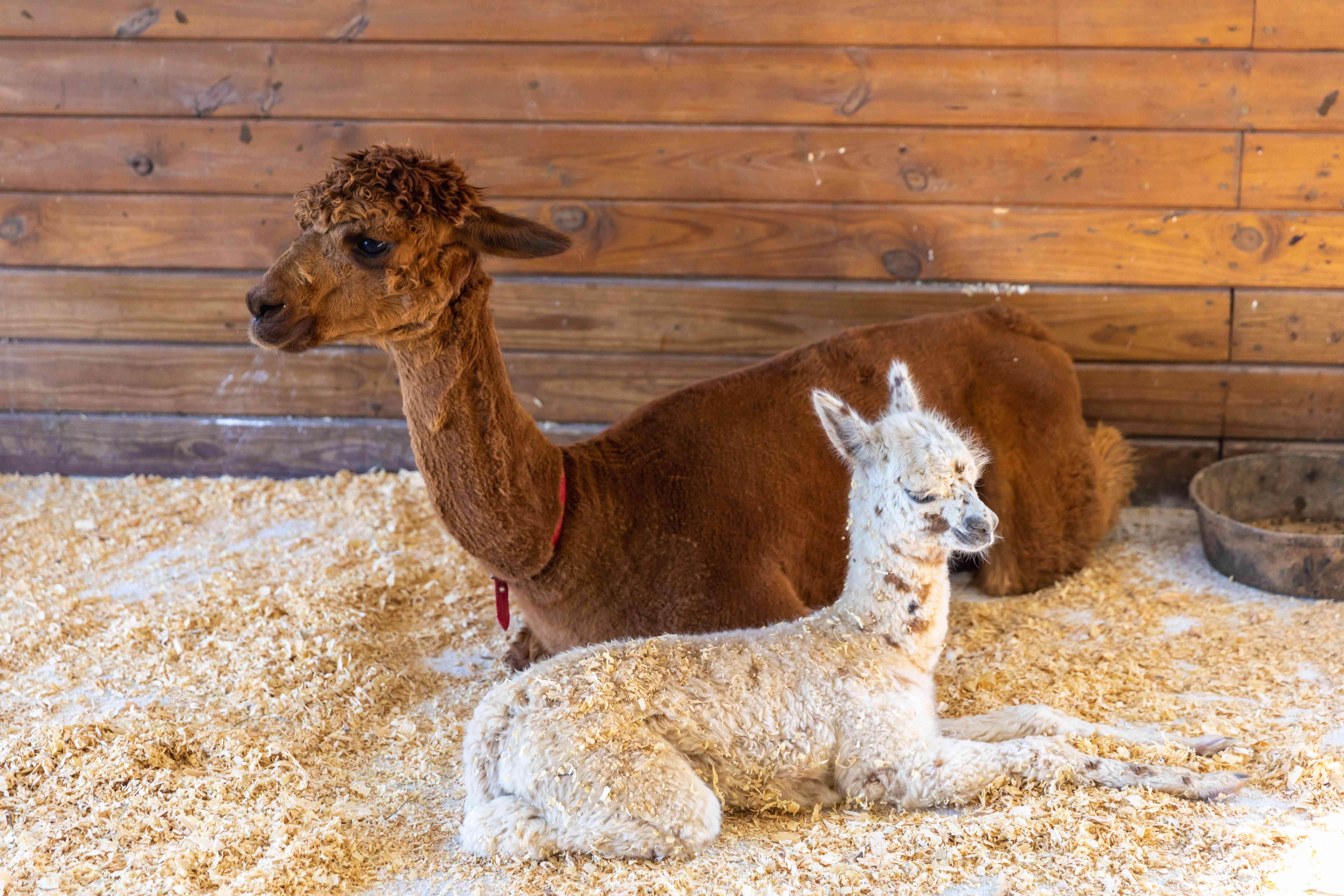 mom and child alpaca rest in barn
