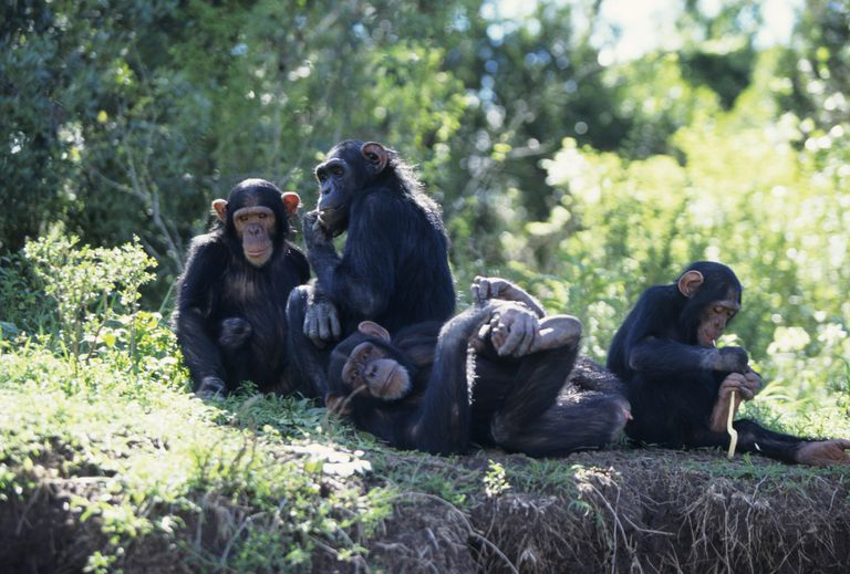 A group of chimpanzees sitting and lying in the shade