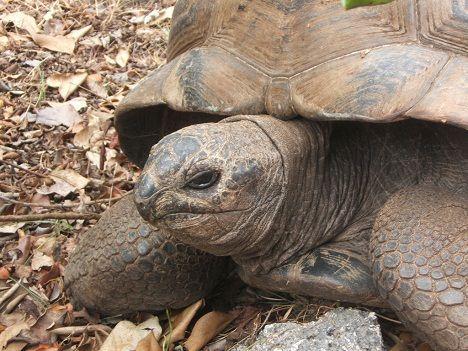 Ile aux Aigrettes tortoise photo