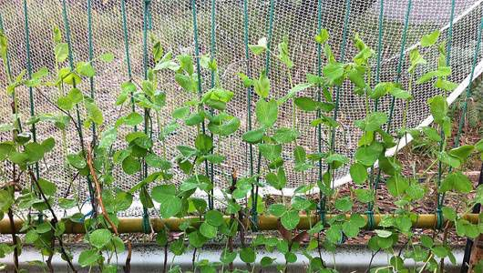 Cómo cultivar mejores frijoles y guisantes