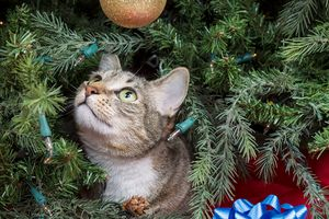 Gray cat in a Christmas tree looking up at a gold ball