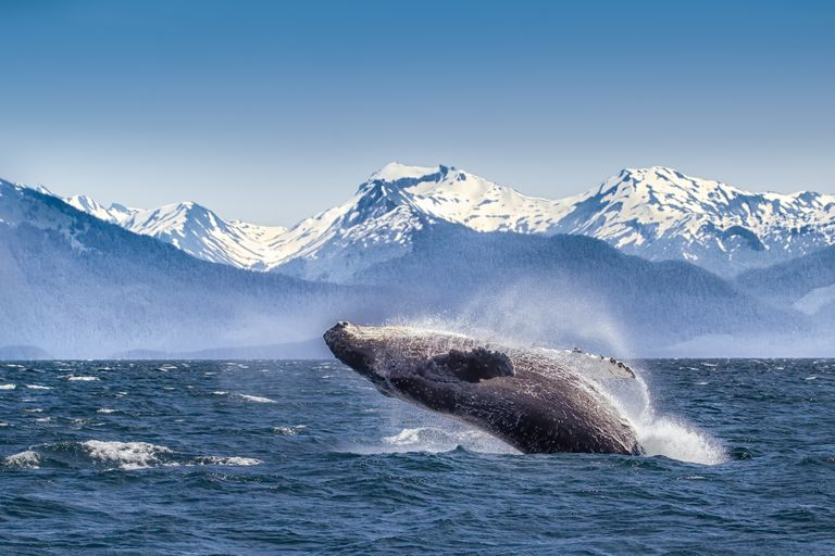 A humpback whale breaching in Glacier Bay National Park