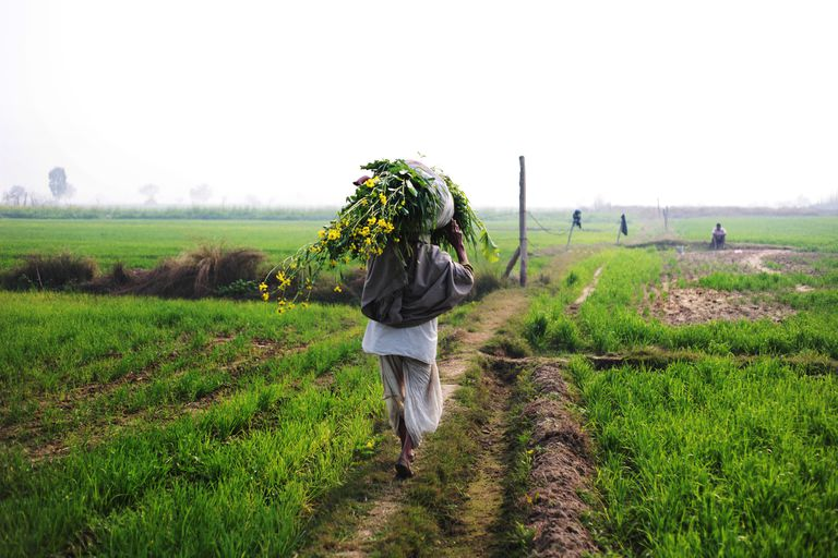 A farmer in India carrying a harvest in a field over his shoulder.