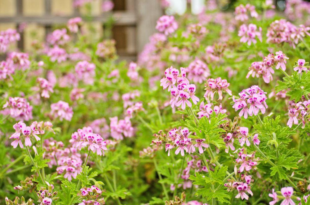 Pelargonium citrosum is also known as the mosquito repellent plant