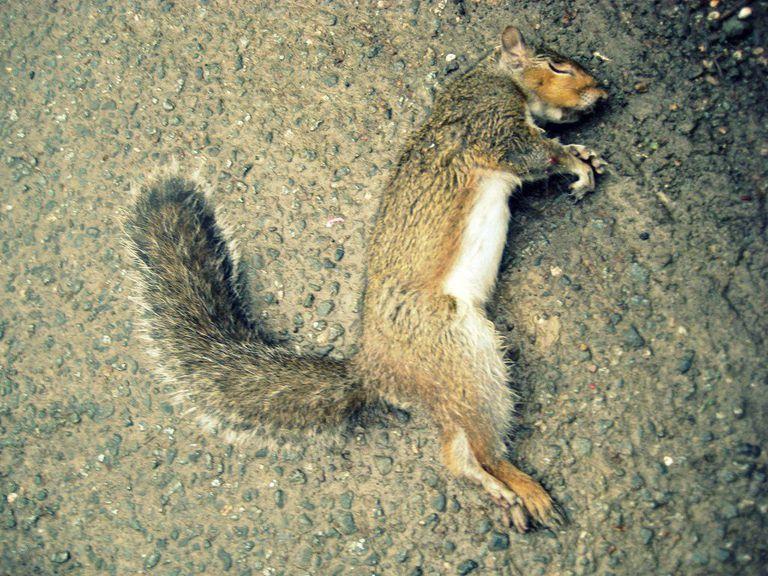 Squirrel roadkill photo