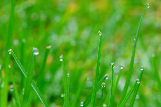 Dew on a green grass