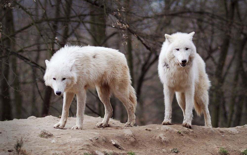 5 Facts About the Family Life of Wolves