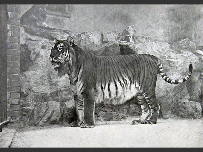 An image of a Caspian tiger standing in front of a rock wall
