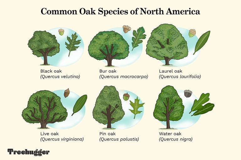 common oak species of North America