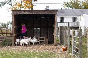 woman feeds group of turkeys in wooden shed on farm