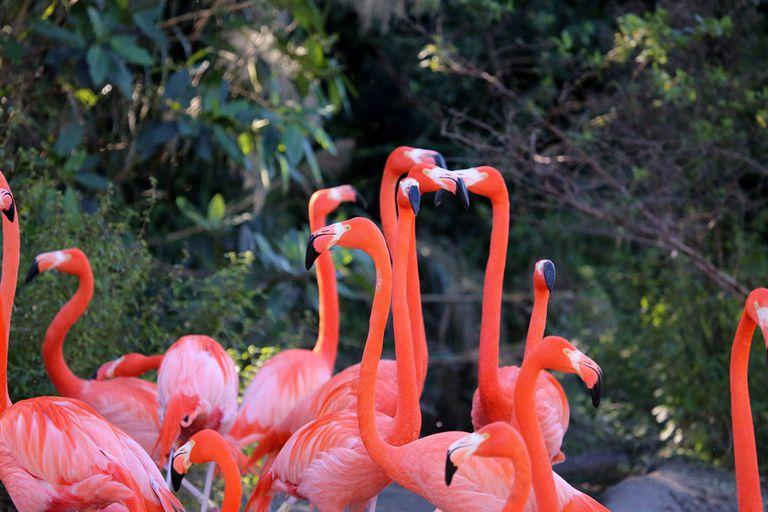 ¿Los flamencos son nativos de Florida?
