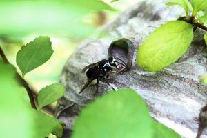 wasp or hornet crawls back into gray nest hidden in bush