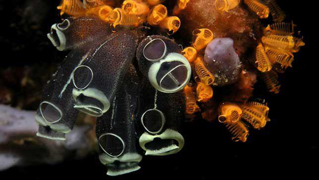 Clavelina robusta sea squirts