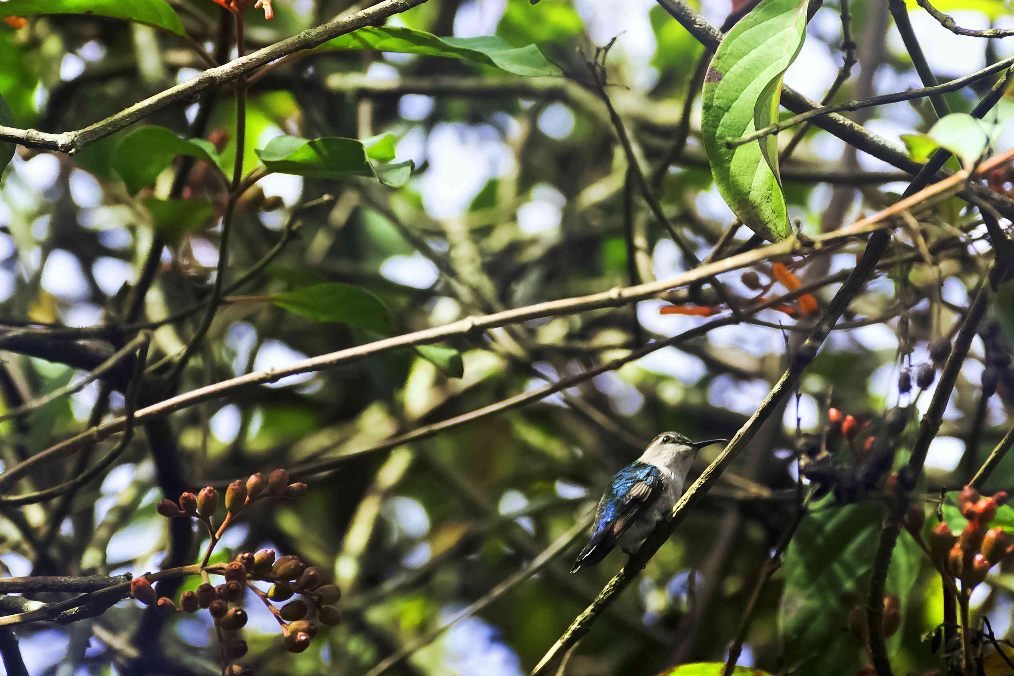 Bee hummingbird in a tree with green leaves and red pods
