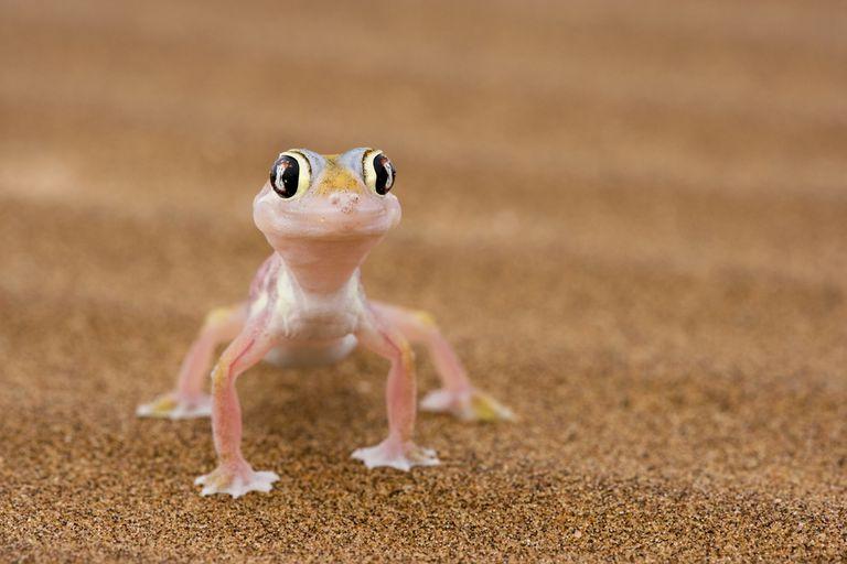 12 hechos sorprendentes sobre los geckos