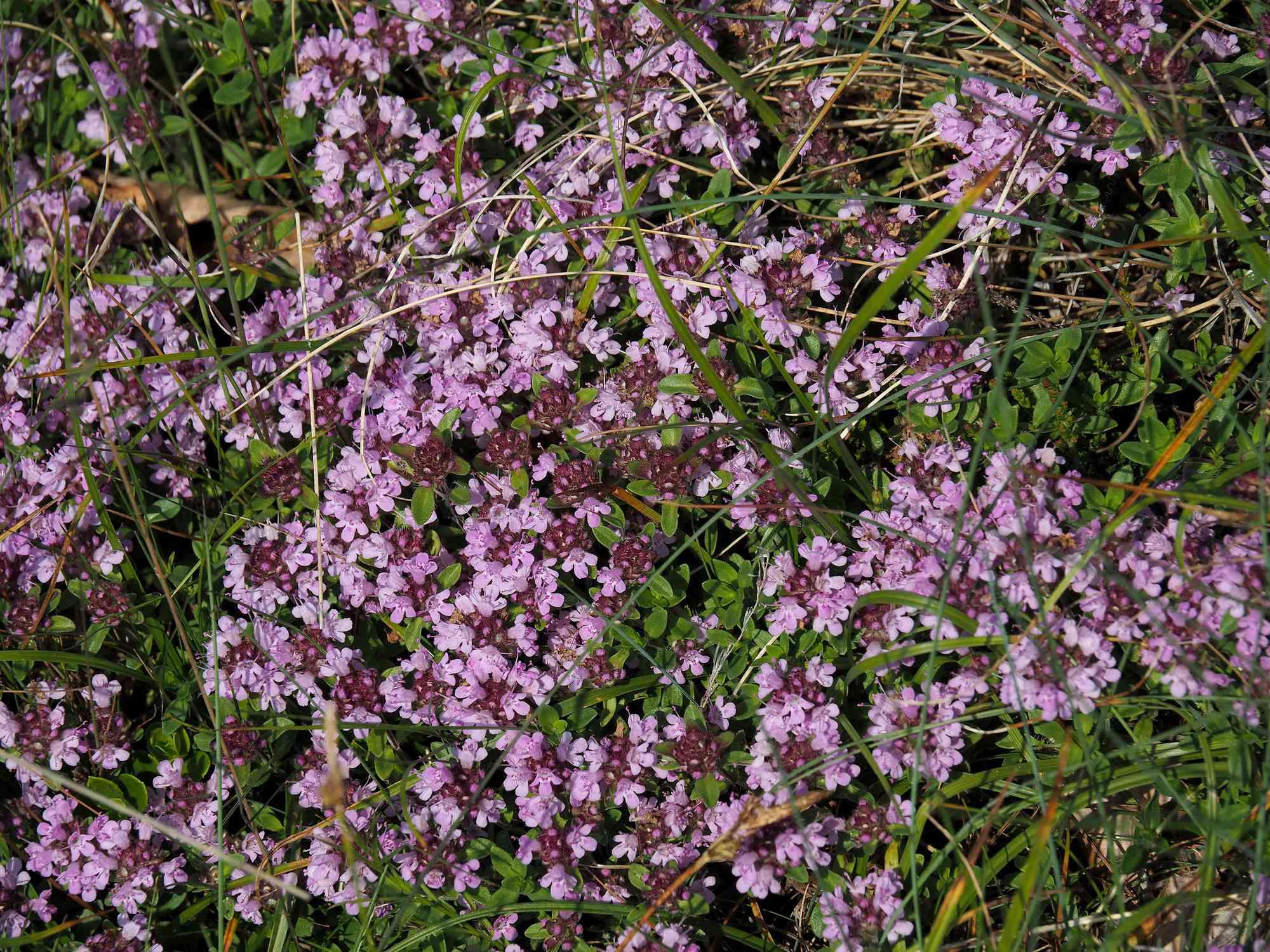 Wild Thyme Flowers (Thymus serpyllum)