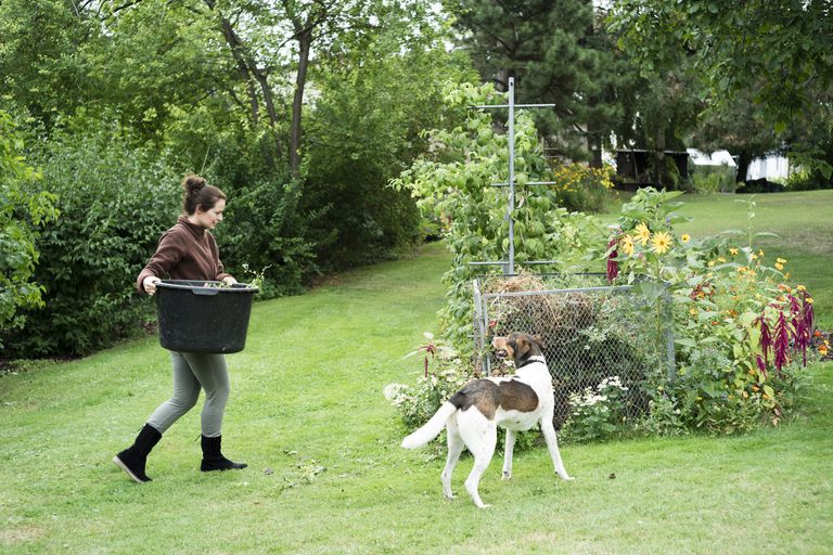 A woman carries compost to dump as a dog watches.