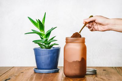 hand scoops out coffee grounds from glass jar as food for aloe vera houseplant