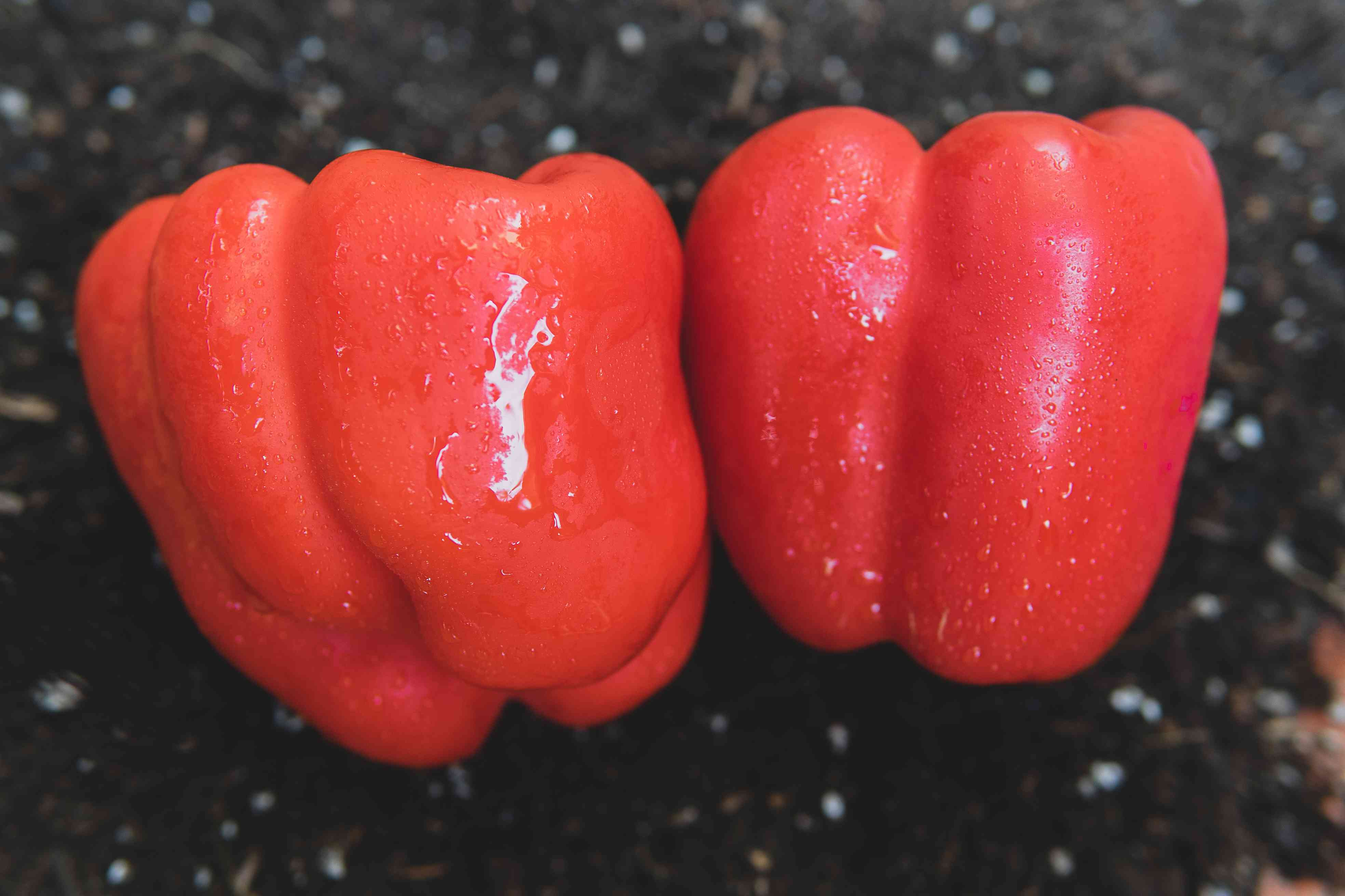 Two red bell peppers covered with water droplets sitting on dirt.