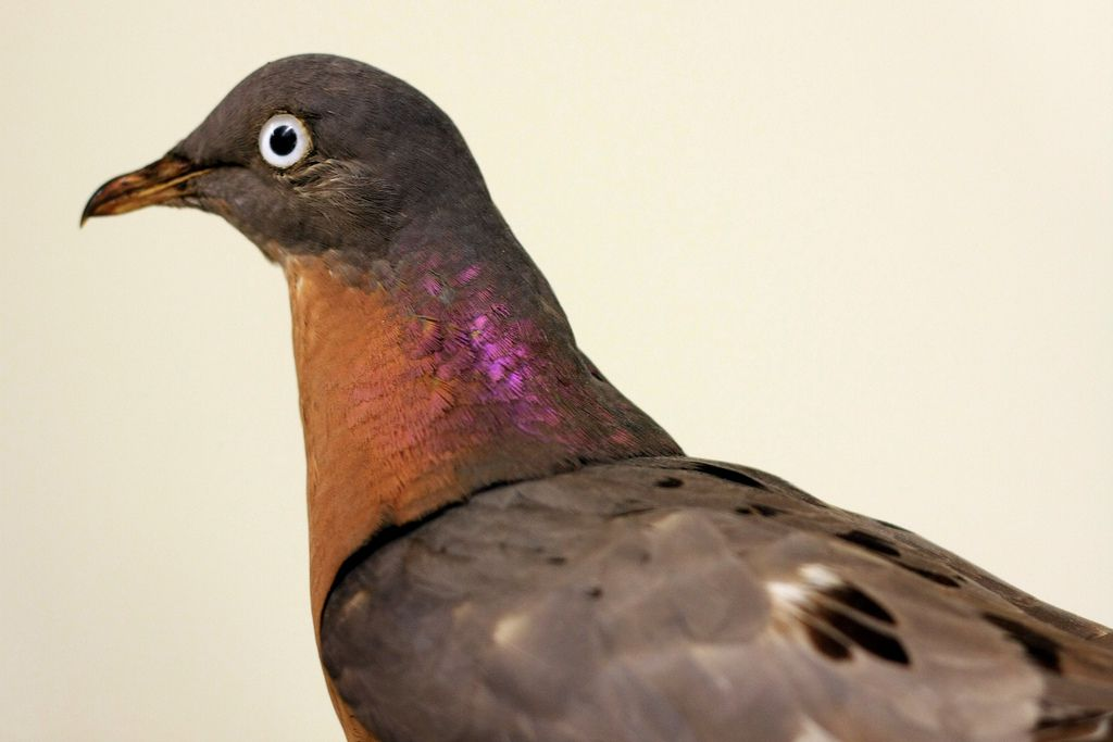 Side view of a passenger pigeon with a brown head and a purple and orange neck