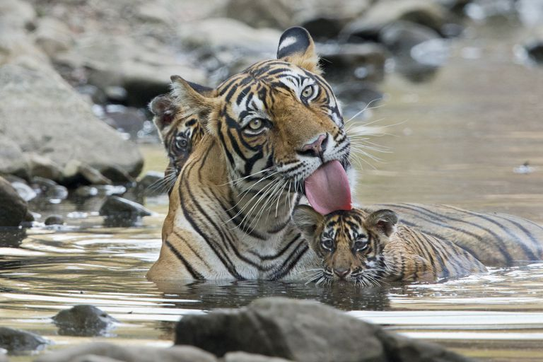Bengal tiger in the water with two cubs