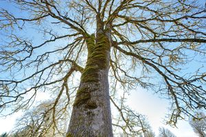 ant's eye view of tall white oak tree in early spring with blue sky