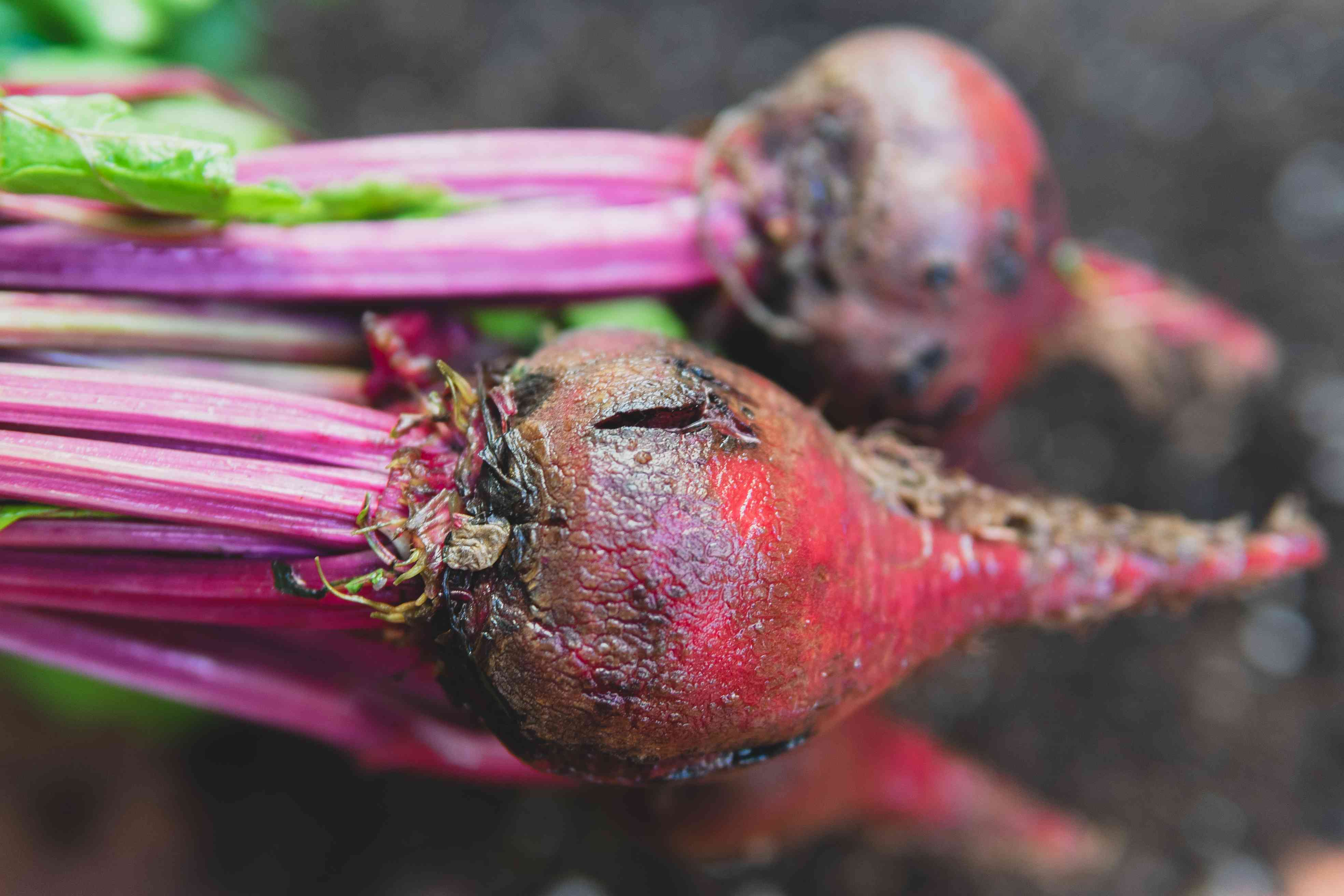 A handful of brilliant purple beets still attached to stalks and leaves.