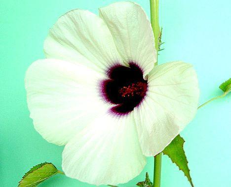 kenaf_flower.jpg