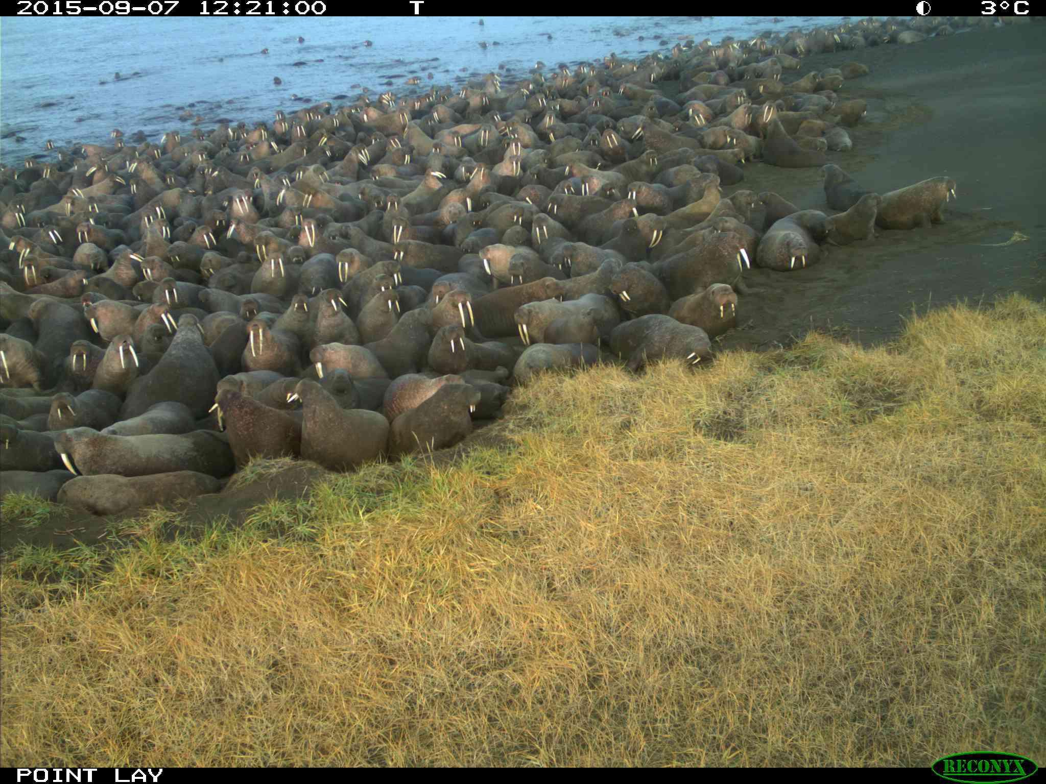 Walruses gather in a haulout on an Alaskan beach.