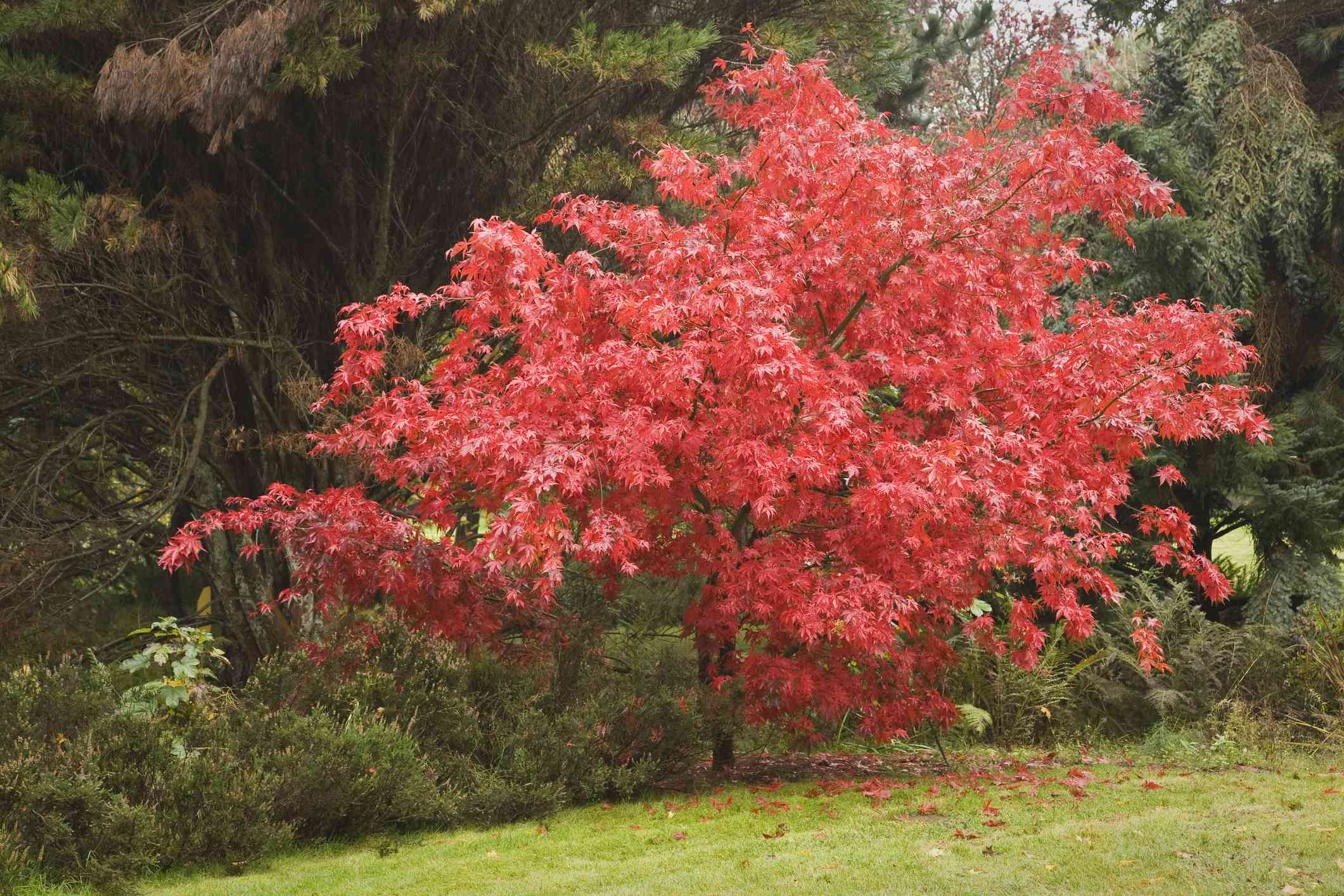 Japanese maple with red leaves at the edge of a lawn.