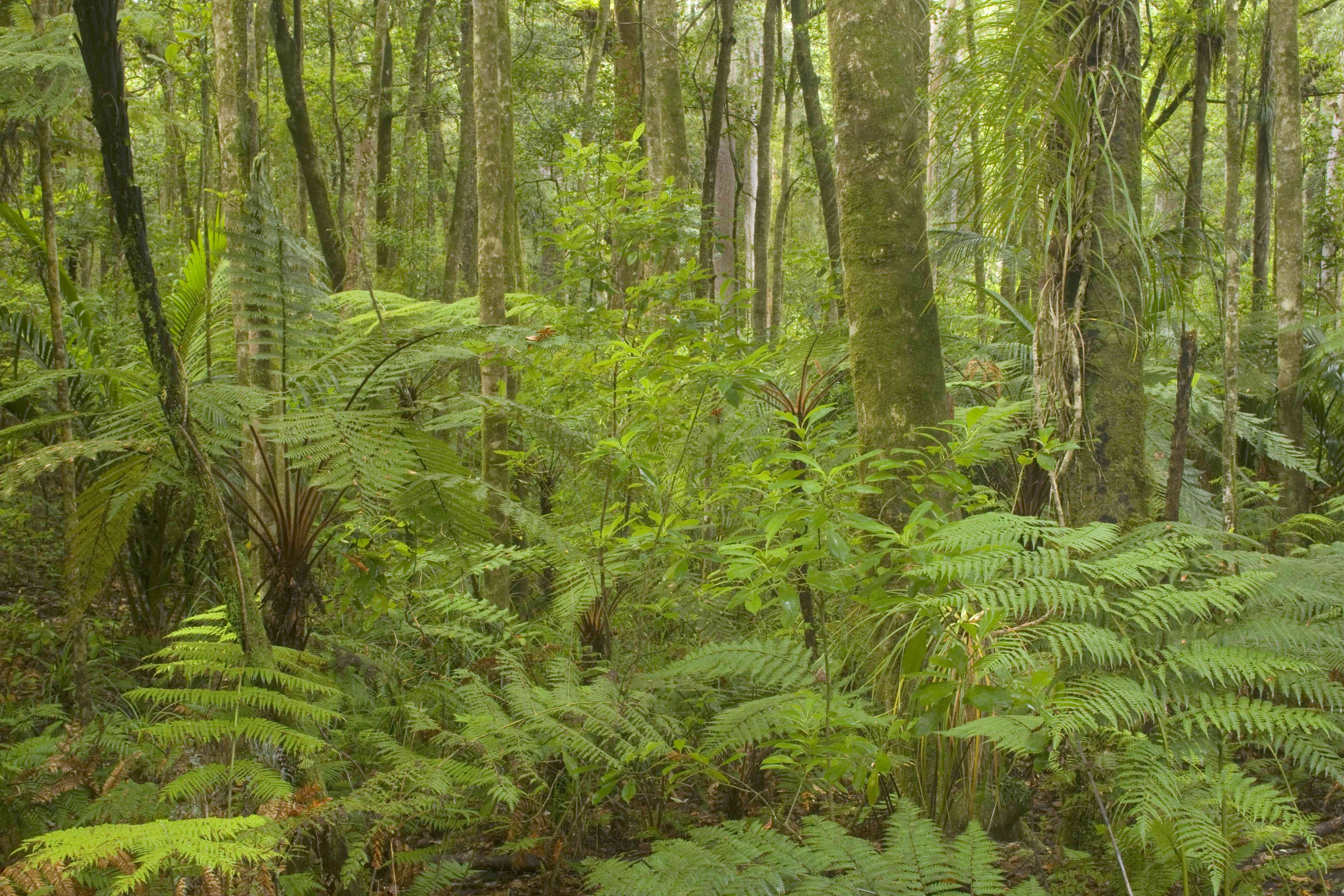 ferns in a kauri forest in New Zealand