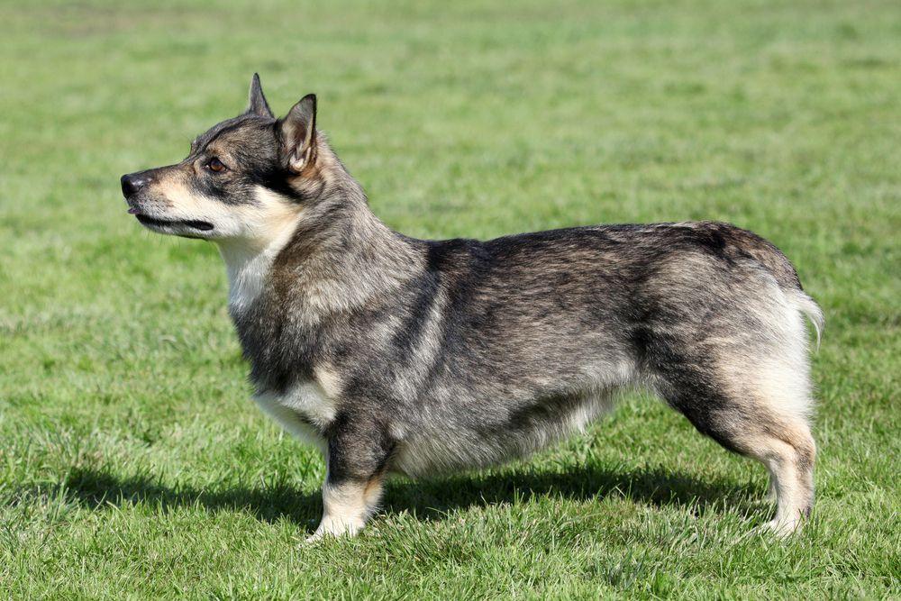 profile of Swedish Vallhund